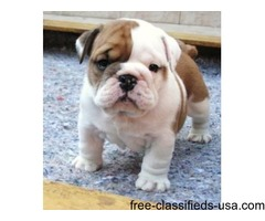 English Bulldog puppies available both male and female!