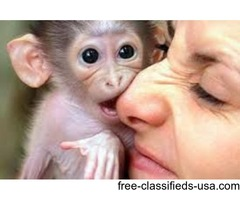 Sweet male and female Capuchin monkeys available for adoption