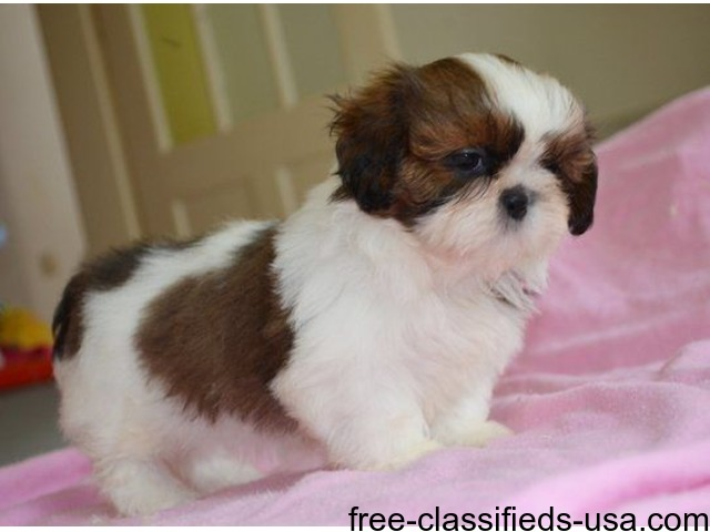 Beautiful Shih Tzu Female For Adoption Animals Brentwood