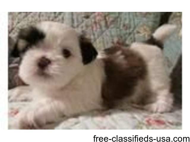 Very Playful Shih Tzu Puppies For Sale Animals Green Valley