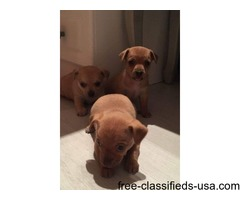 T cup chihuahua cross jack Russell puppy's for sale