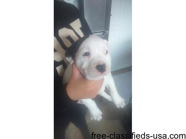 Staffordshire X American Bulldog Puppy Animals Ahwahnee