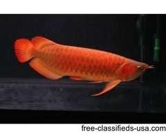 Premium Quality Arowana Fish Available