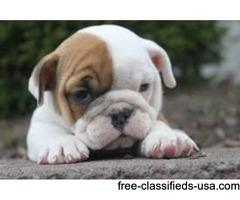 have ur English Bulldog Puppies for adoption