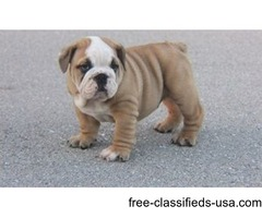 CUTE English Bulldogs puppies for ADOPTION