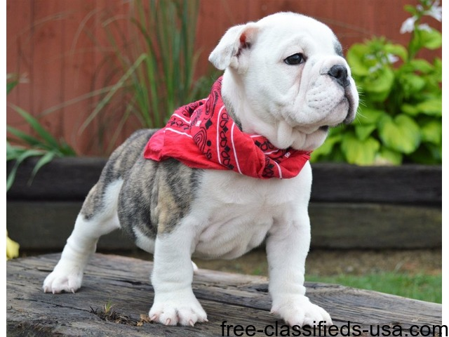 Gorgeous English Bulldog Puppies Available Animals Haines