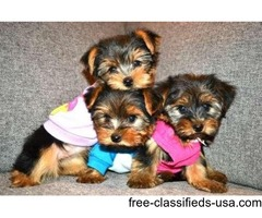 loving yorkie puppies for adoption!