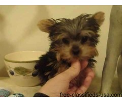Registered Yorkie Puppies | free-classifieds-usa.com