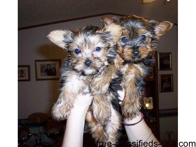 Good with kids and other pets. Gorgeous Two Teacup Yorkie Puppies | free-classifieds-usa.com