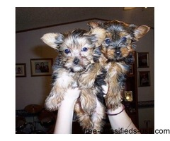 Good with kids and other pets. Gorgeous Two Teacup Yorkie Puppies