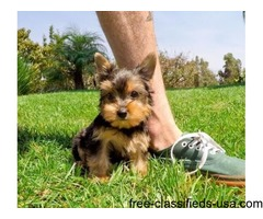 Gorgeous Two Teacup Yorkie Puppies for re-homing