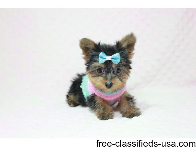 Teacup Yorkie Puppies For Adoption Male Animals Akron Ohio