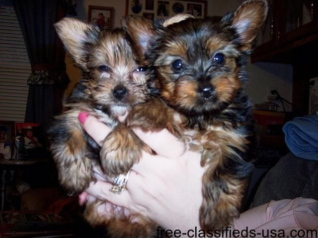 HouseBrokenYorkiePuppiesForAdoption
