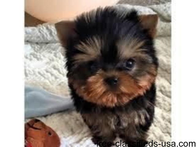 Teacup Yorkie Puppies Home Raised Male And Female Animals Dayton