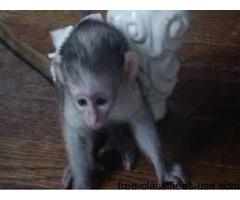 sweet babies  monkey