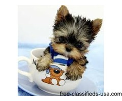 LIL Yorkshire Terrier Puppies for sale