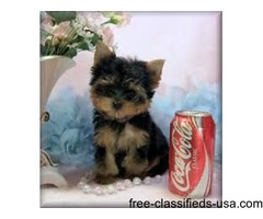 Yorkshire Terrier Stunning Teacup Yorkie Puppies For Sale