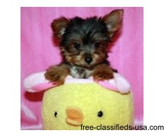 beautiful litter of 4 Yorkshire Terrier puppies