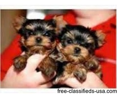 Yorkshire Terrier Registered Teacup Puppies for Adoption