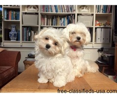 Intelligent Maltese Pups *** Adoption