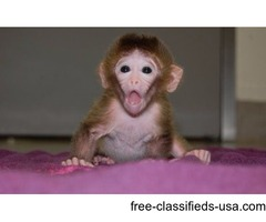 rhesus monkey f available