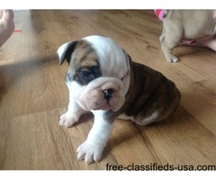 Bulldog puppies very good home pet