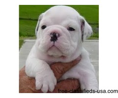 Wonderful English Bulldog Puppies For Adoption