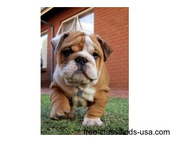 Healthy Adorable Bulldog Puppies available