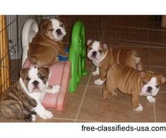 -Female and Male Bulldog for Adoption !!!