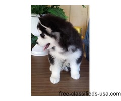 husky puppies for adoption to homes