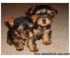 ADORABLE MALE AND FEMALE TEACUP YORKIE PUPPIES