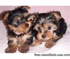 HAND FEED YORKIE PUPPIES FOR A HOME
