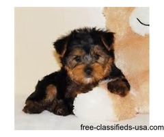 LOVING TEACUP YORKIE PUPPIES FOR ADOPTION