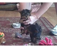 teacup yorkie puppies wanting a new home