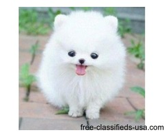 FEMALE POMERANIAN PUPPY - CKC REGISTERED
