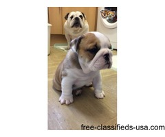 English Bulldog Puppies For Sale Cheap
