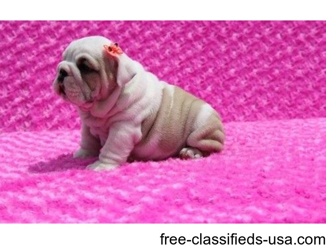 English Bulldog Puppies For Sale 10 And 11 Weeks Animals Houston