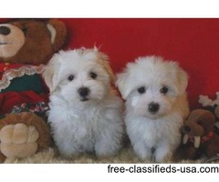 Stunning AKC T-Cup Maltese  Puppies Now Available.