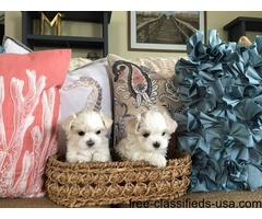 ~AKC T-Cup Maltese Puppies Now Available.