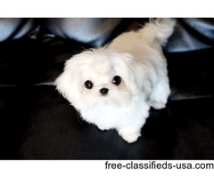 Registered AKC T-Cup Maltese Puppies Now Available.