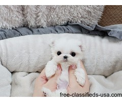 Gorgeous T-cup Maltese Puppies Available