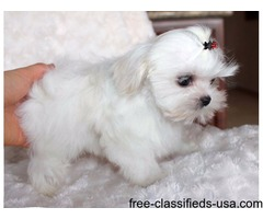 Beautiful AKC T-Cup Maltese  Puppies Now Available.