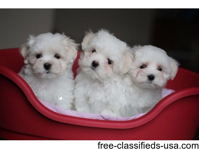 Beautiful Akc T Cup Maltese Puppies Now Available Animals