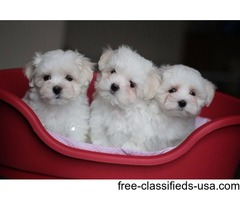 Beautiful AKC T-Cup Maltese  Puppies Now Available