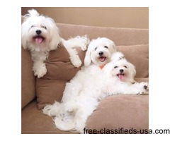 Lovely,Cute and Beautiful Maltese Puppies available