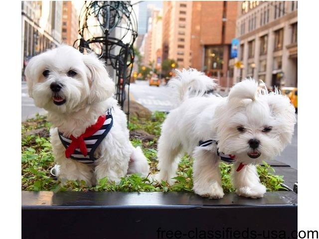 Happy Male And Female Maltese Puppies For Sale Animals Abilene