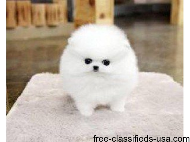 Male And Female Pomeranian Puppies For A Good Home Animals