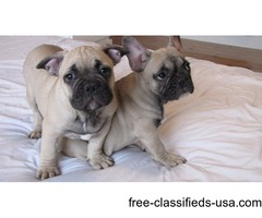 Cute French Bull Dog Ready For Rehoming ASAP