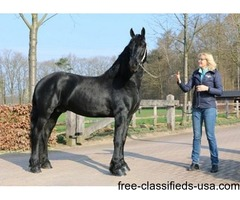 Gorgeous black friesian gelding for sale