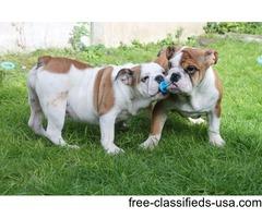 Kc Reg English Bulldog Puppies for adàption